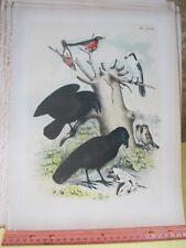 Vintage Print,CROWS,Birds of North America,J.Stucker,1888,Plate 67
