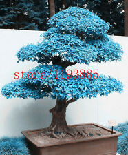 20pcs/bag blue maple tree seeds,bonsai seeds, tree seeds ,high 60cm rare potted