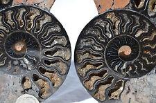 "RARE 1 in 100 BLACK PAIR Ammonite Crystal LARGE 122mm Dinosaur FOSSIL 4.7"" n2175"