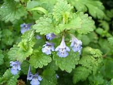 ANCIENT MEDICINAL PLANT!!! Ground-ivy, Glechoma hederacea 25 seeds