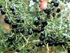 1 Black Goji Berry Live Plant, Rare (Lycium Ruthenicum) *4 inch pot*
