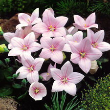 ASTRA PINK pot flower seeds