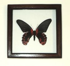 Papilio rumanzovia in frame made of expensive wood !
