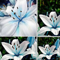50PCS Fashion Blue Rare Lily Bulbs Seeds Planting Lilium Perfume Flower TR