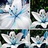 50PCS Fashion Blue Rare Lily Bulbs Seeds Planting Lilium Perfume Flower TR