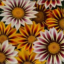 Flower - Kings Seeds - Gazania - New Day Tigers Stripes - 25 Seed