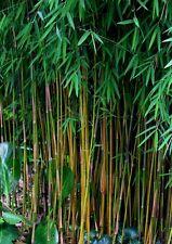 100+ Fresh Black Bamboo Seeds (Fargesia Sp Jiuzhaigou 4) hardy