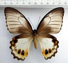 Papilio aegeus onesimus forma rare,Irian Jaja, Indonesia ,n54