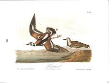 Turnstone Vintage Bird Print by John James Audubon