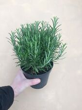 1 LARGE Rosemary Herb Plant 2ltr Pot, Upright Scented foliage