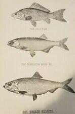 Antique 1902 Gold Fish . Northern Moon Eye . Branch Herring Print Fish Fishing