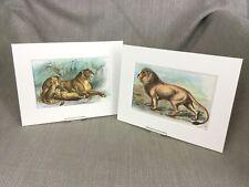 Antique Wild Animal Cat Prints Lion Lioness Cubs Cats Ca. 1896