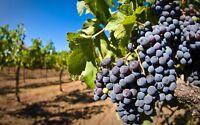 50 Mixed Grape Seeds Vitis Vinifera Delicious Fruit Plant Seed Home Garden Decor