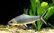 SILVER SHARK BALA ** 5CM TROPICAL FISH ** Balantiocheilos melanopterus