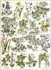 1900 vintage POISONOUS PLANTS original botanical chromlithograph
