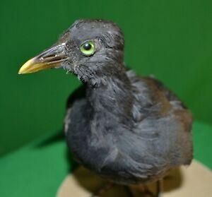 Taxidermy Gallinula chloropus Stuffed trophy Colored Bird Animal