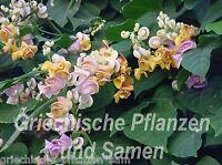 🔥 Vigna Caracalla Schneckenbohne * 5 Samen Blütentraum für Bakon Ranker Kübel