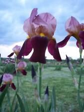 Tall Indian Chief Bearded Iris Rhizome Flower Bulb
