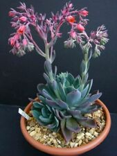 One Rooted Echeveria Blue Prince Pink Bloom Indoors Or Outside Zone 5-10