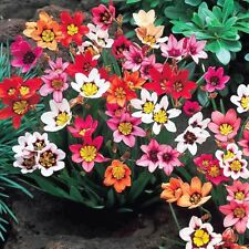 PRE-ORDER - 20 x Humphreys Garden Mixed Sparaxis Bulbs.Spring Harlequin Flowers