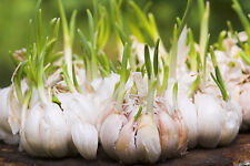 ONE POUND Majestic Italian Garlic Bulbs for Planting or Eating