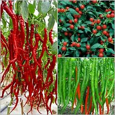 40 seeds each -- Italian 20-30cm long chilli, cherry chilli, green chilli seeds