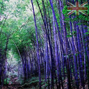PURPLE Bamboo 10 Seeds SHOWSTOPPER GARDEN RARE Quantity Rainbow Plant UK Seller