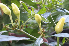 Little Elf Chilli - A Colourful & Petite Compact Hot Pequin Type Chilli Variety
