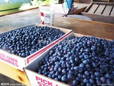 200 Giant Blueberry Cranberry Seed 95% +, rare fruit tree seeds for gardening pa