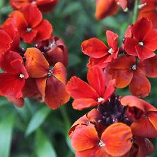 Wallflower Fire King Seed Fragrant Cut Flower Perennial - Erysium cheirii