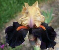 "1 Tall Bearded Iris ""Secret Service"" - Large Rhizome, size #1"