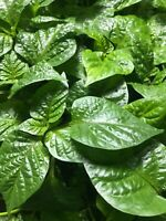 """""""YOU PICK"""" Lot of 3 LIVE 90 + DAY OLD SUPER HOT PEPPER PLANTS See the List"""