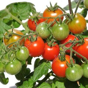 Pinocchio Tomato Seeds Micro Dwarf Plants Organic Red Cherry Fruit Heirloom USA