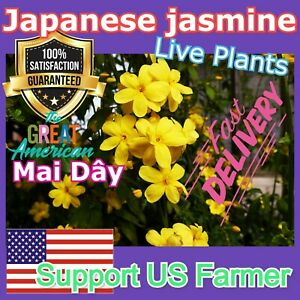 Jasminum mesnyi Sun Glo Hardy Yellow primrose Japanese Jasmine Mai Day 7cuttings