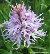 Orchis Italica - Italian Man Orchid, Italian Orchid Flower Viable Seeds