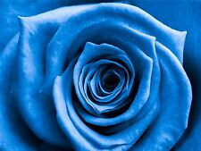 Art Imprimé Poster Photo Fleur Bleu Pétale Rose Bud cool lfmp0493