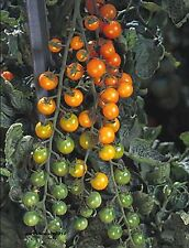 Tomato Sunsugar GENUINE F1 HYBRID SEEDS INTENSE SWEET FLAVOR PRODUCTIVE EARLY!!!