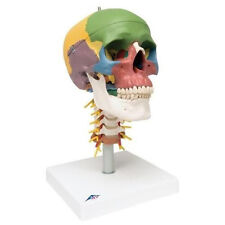 3B Scientific A20/2 Didactic Human Skull Anatomy Model On Cervical Spine