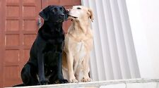 """Black and White Labrador Retriever Dogs - 42"""" x 24"""" LARGE WALL POSTER PRINT NEW."""