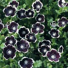 Flower Nemophila discioidalis Penny Black Appx 300 seeds Hanging Basket