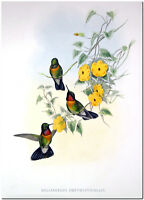 "Vintage Hummingbird Art John Gould CANVAS PRINT~AMETHYSTICOLLIS 18x12"""