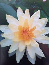 10 Ml White Lotus Absolute .