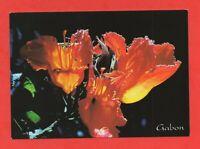 Flore du Gabon - Tulipier du Gabon  (J5820)