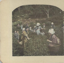 COLOR STEREOVIEW OF WOMEN PICKING UJI TEA PLANTS - TOKYO, JAPAN