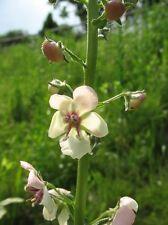 100 Samen weiße Königskerze Verbascum blattaria