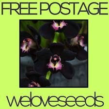 LOCAL AUSSIE STOCK - Black Cymbidium Faberi, Kiwi Midnight Orchid ~10x FREE SHIP