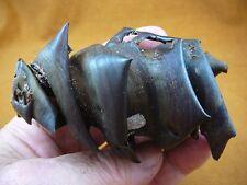 """(s800-101) 4"""" Port Jackson Shark egg case casing Heterodontus educational sharks"""
