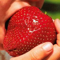 Cool Wholesale Popular 150Giant Strawberry Seeds Excellent High in Vitamin Fruit