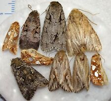 Unidentifed Moth Species Michigan #MI-02(#20) Noctuid Arctiid Insect Collection