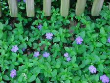 Vinca Minor vine 50 clumps/plants 15-20 leads Periwinkle ground cover